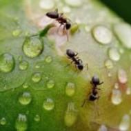 Муравьи помогут ученым создать новые антибиотики