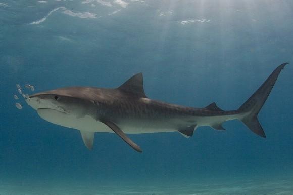 Глазные капли, изготовленные из акул, противостоят слепоте