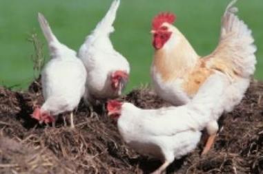 Ученые обнаружили новый штамм вируса птичьего гриппа