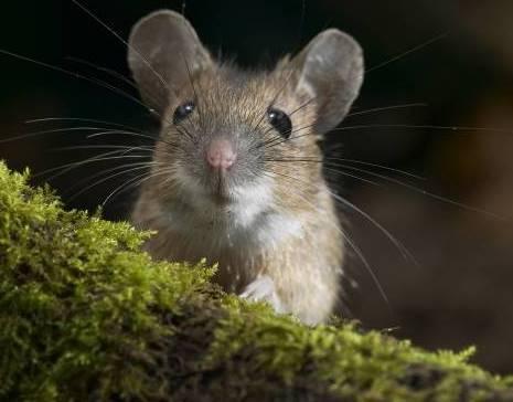 Против болезни Лайма надо вакцинировать мышей