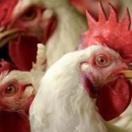 H7N9 может стать причиной пандемии