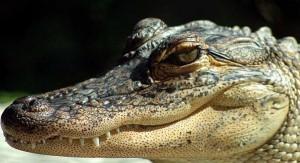 sub alligatora
