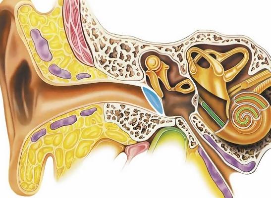 Внутреннее ухо удалось вырастить в лабораторных условиях