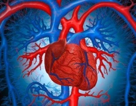 Способность клеток сердца к размножению можно вернуть
